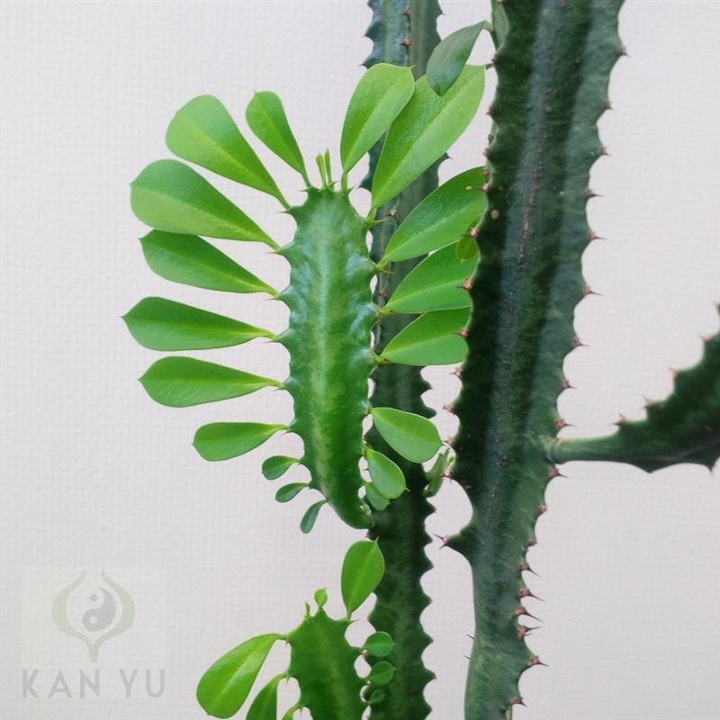 kaktus sukkulente euphorbia trigona dreirippige wolfsmilch ebay. Black Bedroom Furniture Sets. Home Design Ideas