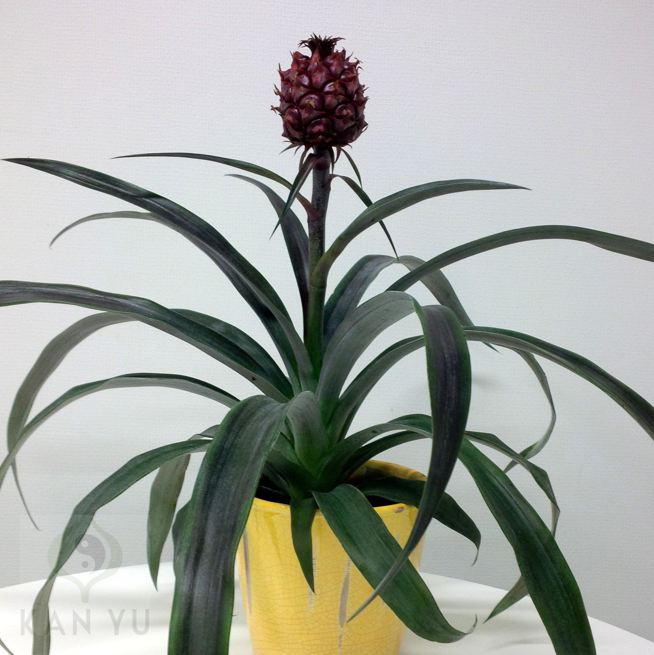ananas ananaspflanze exotische zimmerpflanze feng shui energiepflanze ebay. Black Bedroom Furniture Sets. Home Design Ideas
