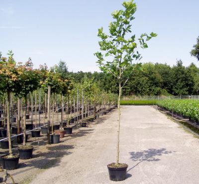 platanus acerifolia ahornbl ttrige platane solit rbaum. Black Bedroom Furniture Sets. Home Design Ideas