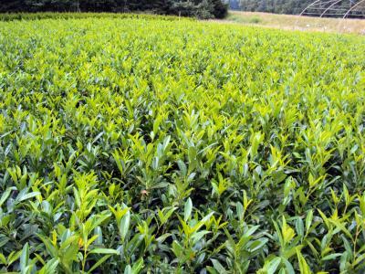 kirschlorbeer herbergii prunus laurocerasus herbergii containerpflanzen ebay. Black Bedroom Furniture Sets. Home Design Ideas