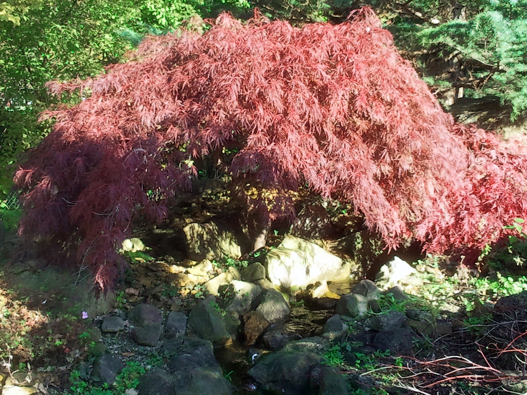 acer palmatum dissectum garnet containerpflanzen ebay. Black Bedroom Furniture Sets. Home Design Ideas