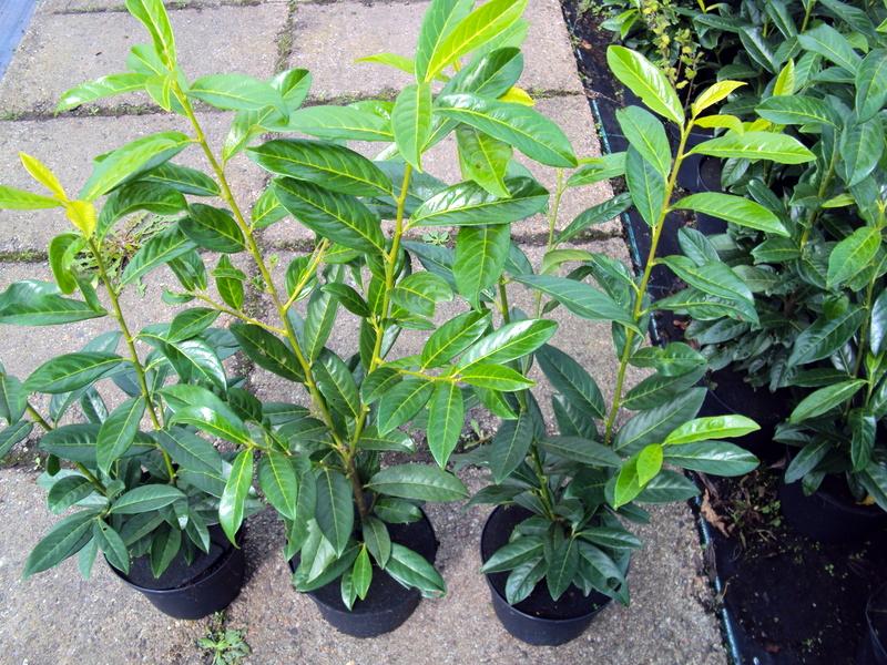 10 stck kirschlorbeer genolia containerpflanzen 60 80 cm reine pflanzenh he ebay. Black Bedroom Furniture Sets. Home Design Ideas