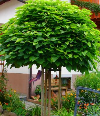 catalpa bignoides nana 10 12 exotik im garten kugelbaum ebay. Black Bedroom Furniture Sets. Home Design Ideas