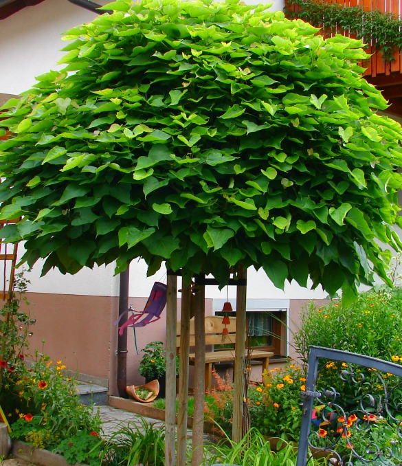 catalpa bignoides nana 12 14 kugelbaum ohne schneiden exotic im garten ebay. Black Bedroom Furniture Sets. Home Design Ideas