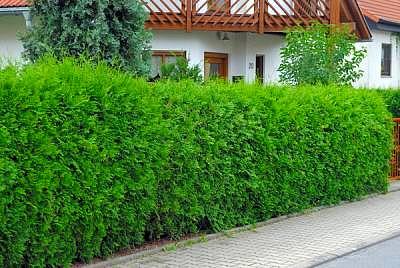 100 stk lebensbaum thuja occidentalis 40 70 f r hecken ebay. Black Bedroom Furniture Sets. Home Design Ideas