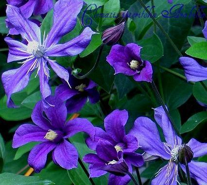 clematis integrifolia arabella vertr umtes blau ebay. Black Bedroom Furniture Sets. Home Design Ideas