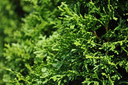 5x thuja occidentalis smaragd 200 225 sehr starke pflanzen gesunde hecke. Black Bedroom Furniture Sets. Home Design Ideas