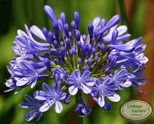 agapanthus schmucklilie zauberhafter sommer in blau ebay. Black Bedroom Furniture Sets. Home Design Ideas