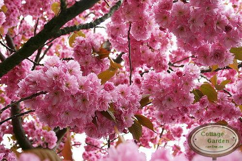 japanische zierkirsche kanzan hochstamm baum 8 10 rosa. Black Bedroom Furniture Sets. Home Design Ideas