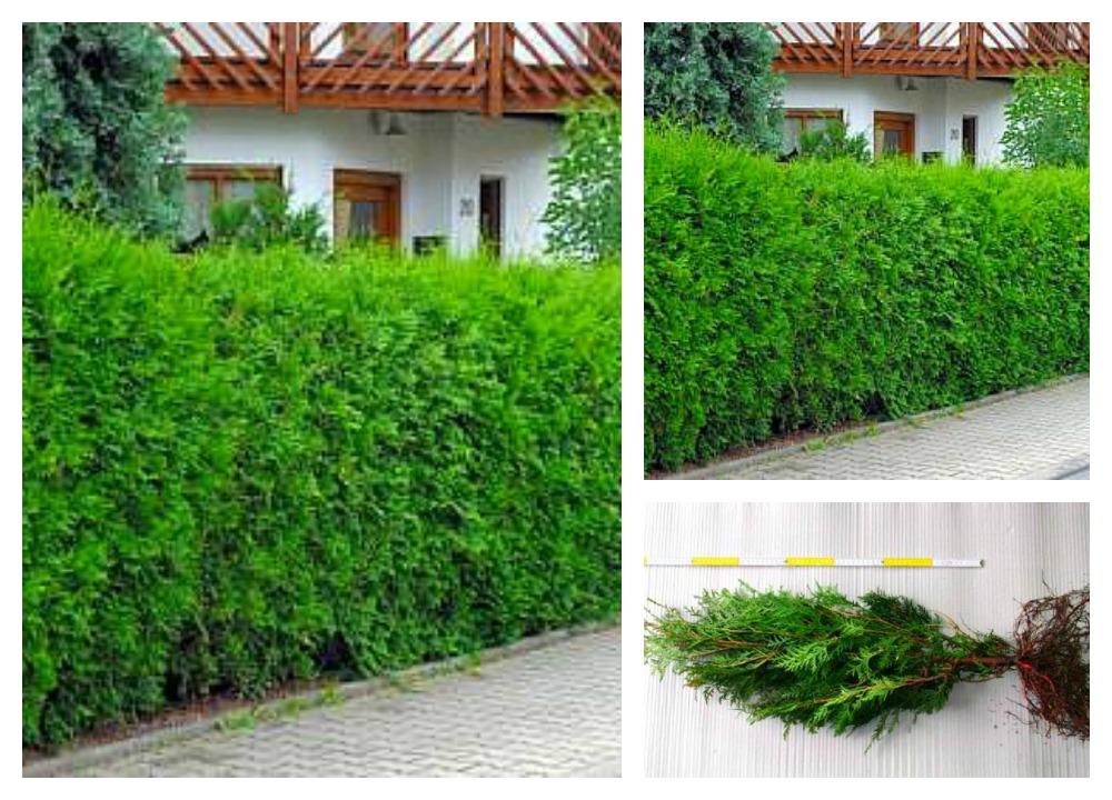 100x thuja lebensbaum heckenpflanze 70 robuste. Black Bedroom Furniture Sets. Home Design Ideas