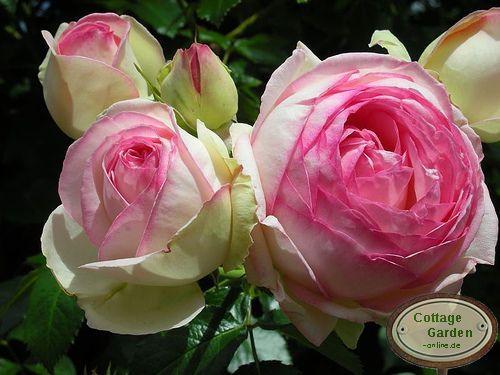 mini eden rose r stamm nostalgisch anmutende rose mit zarten rosenduft ebay. Black Bedroom Furniture Sets. Home Design Ideas