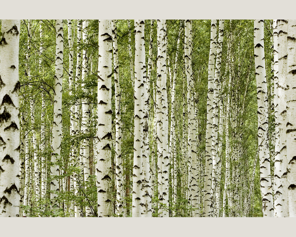 Ap digital 4721 36 foto tapete vlies neu birken b ume ebay for Tapete birkenwald